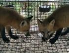 白狐赤狐银狐熊猫狐出售 品相好 性情温和