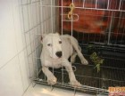 杜高犬幼崽低价出售 杜高犬价格
