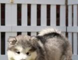 佛山专业养殖场位置 佛山买只阿拉斯加犬大概多少钱一只