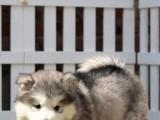 佛山三水哪里卖阿拉斯加犬 精品阿拉斯加犬价格