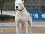 双血统杜高犬,自家犬舍繁殖,保健康包纯种,可送货