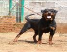 中国专业繁殖双血统罗威纳犬舍 可以上门挑选