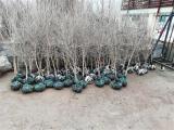 石榴苗 软籽石榴苗 常年培育种子