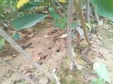 粗度7厘米拉宾斯樱桃苗(扶贫开发)拉宾斯樱桃苗供应商