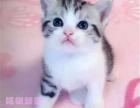 美国短毛猫 加白 起司猫 美短猫短毛猫宠物猫活体美短折耳