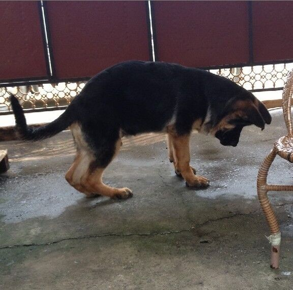 重庆市德牧的价格 重庆市德国牧羊犬怎么卖的 德牧多少钱