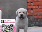 武汉拉布拉多买狗网 武汉拉布拉多交易吧 武汉拉布拉多图片价格