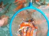 河北如意鱼苗场出售各种淡水鱼苗批发锦鲤和