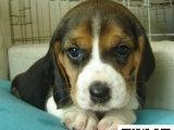 在哪里买纯种的比格幼犬 比格幼犬最低多少钱