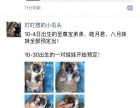 纯种日本柴犬幼崽接受预定-可见父母-带cku出生纸芯片