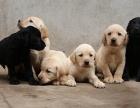 神犬小七同款 拉布拉多幼犬 出售 会上厕所听话