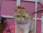 纯种加菲猫导异短 异长 红白 三花 找新家