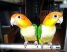 出售手养的大体凯克鹦鹉幼鸟 可爱亲人