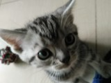 家有虎斑猫活泼可爱,现予出售
