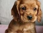 家养可卡幼崽找主人,纯种大耳朵可卡超级可爱 靓白一只