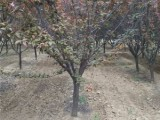 安阳25公分白蜡树基地直销