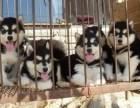 纯种健康阿拉在云南哪里能买到,狗场纯种健康阿拉斯加常年出售,