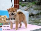 宠物狗纯种柴犬疫苗驱虫已做齐全包健康签协议