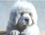 藏獒犬纯种家养繁殖藏獒狗出售精品家养活体宠物狗