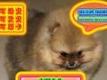 优选犬舍   自家狗场繁殖博美犬——品质健康有保障—可刷卡签协议