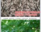 菏泽五角枫种子基地 景诚花卉苗木基地