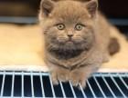 英短蓝猫 深圳买蓝白猫首选 宠之恋 健康质保