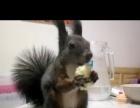 爱宠魔王松鼠