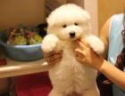 纯种萨摩耶幼犬是小天使,小萨摩没办法才找新家