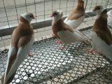 苏州精品仙女鸽子价格