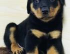 临沂罗威纳护卫犬出售 养它就是养了一个保镖 纯血统