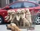 家里大狗生的一窝纯种金毛幼犬急需转让、包健康