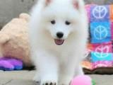 专业繁殖精品萨摩耶犬 疫苗齐全 保纯保健康 签协议