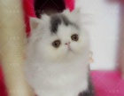 家庭猫舍出售加菲 银渐层包纯种健康 可上门全国空运