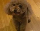 北京市大兴天宫院地铁站附近走失泰迪犬