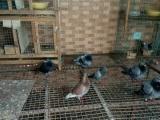 信鸽转卖有多的台鸽 海霸王詹森 红狐狸