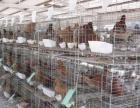 观赏鸽养殖场出售元宝鸽红卡奴落地王芙蓉天使价格