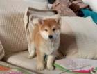 淄博哪里有柴犬出售 淄博柴犬多少钱 淄博柴犬犬舍