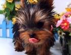 怀化哪里有卖约克夏的 约克夏幼犬卖多少钱一只 本地哪里有犬舍