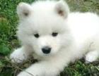 银狐犬宝宝出售中,血统纯正包品质,绝对信誉保证