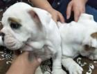 长春市实体店出售纯种英国斗牛幼犬,售后有保障,