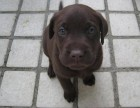 浦东哪里有拉布拉多犬卖 浦东拉布拉多犬价格 拉布拉多犬多少钱