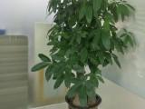 东莞高埗室内绿植租摆A办公室植物养护A汇安绿植出租