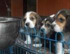 大家好,家养一窝比格幼犬低价出售了,包纯种健康