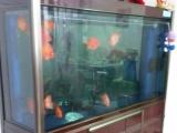 森森一米八鱼缸带十二条鹦鹉鱼转让