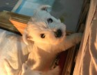 西高地犬专业繁殖的纯种西高地幼犬赛级品相保健康