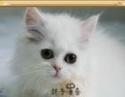 出售长毛金吉拉猫 品相好 打过疫苗 包纯种包健康