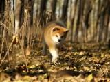 纯种的秋田犬多少钱 宠物店的狗靠谱吗