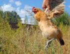 乌鲁木齐大型土鸡蛋散养基地