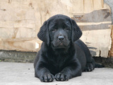 本地出售纯种拉布拉多幼犬出售 疫苗齐全 品相 可送货