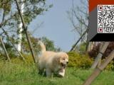 出售金毛幼犬 宽嘴大头黄金猎犬金毛犬 毛色均匀品相好